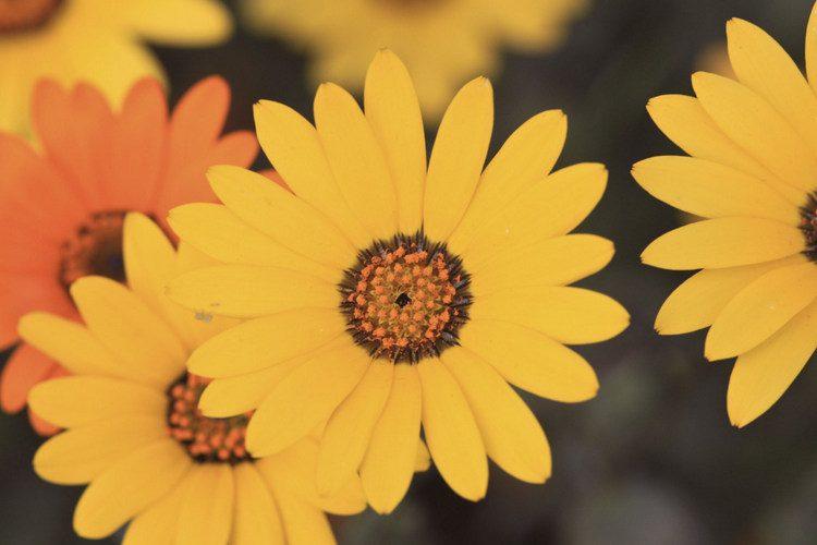 namaqualand_daisies_2