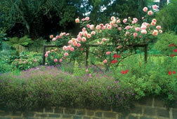 perfect-rose-pruning-3