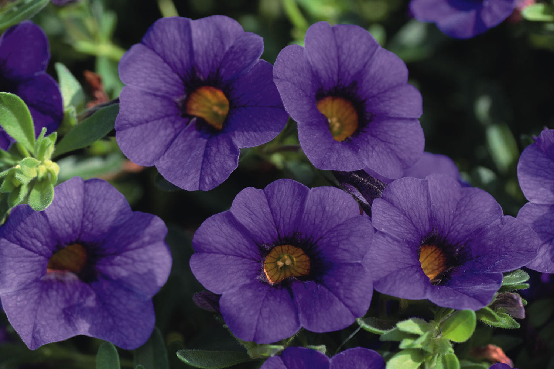 Calibrachoa life is a garden - Calibrachoa perenne ...