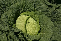 unusual_and_fun_veg_for_the_garden8