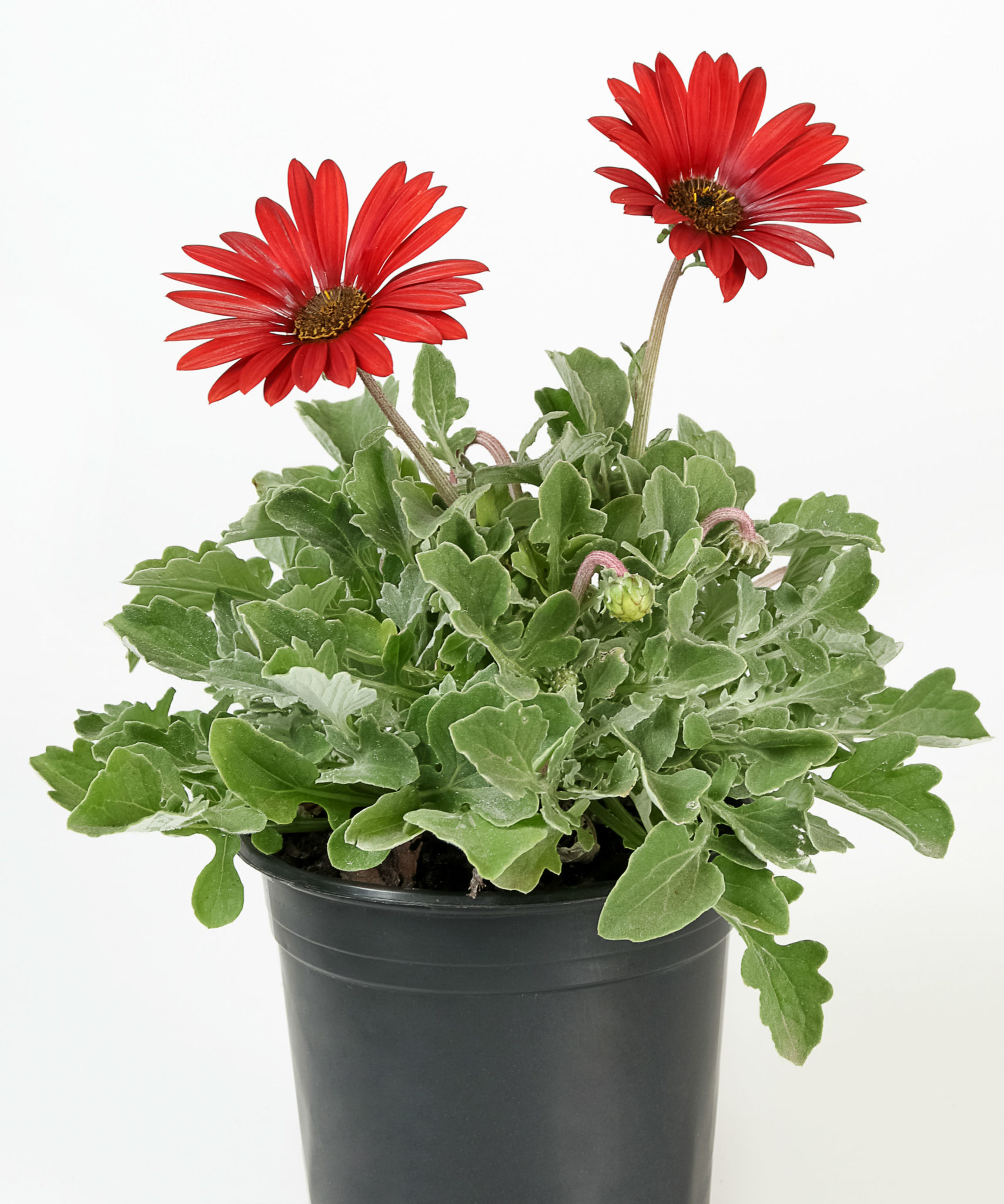 Arctotis red radiance life is a garden arctotis or african daisy is a proudly south african variety of ground cover it provides large and colourful daisy like flowers that range from pink to red izmirmasajfo