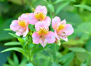 Alstroemeria, lily of the Incas