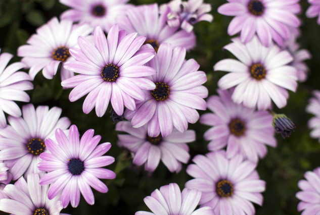 Copy of Osteospermum