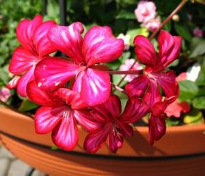 5764762 - relargonium (pelargonium peltatum), family geraniaceae