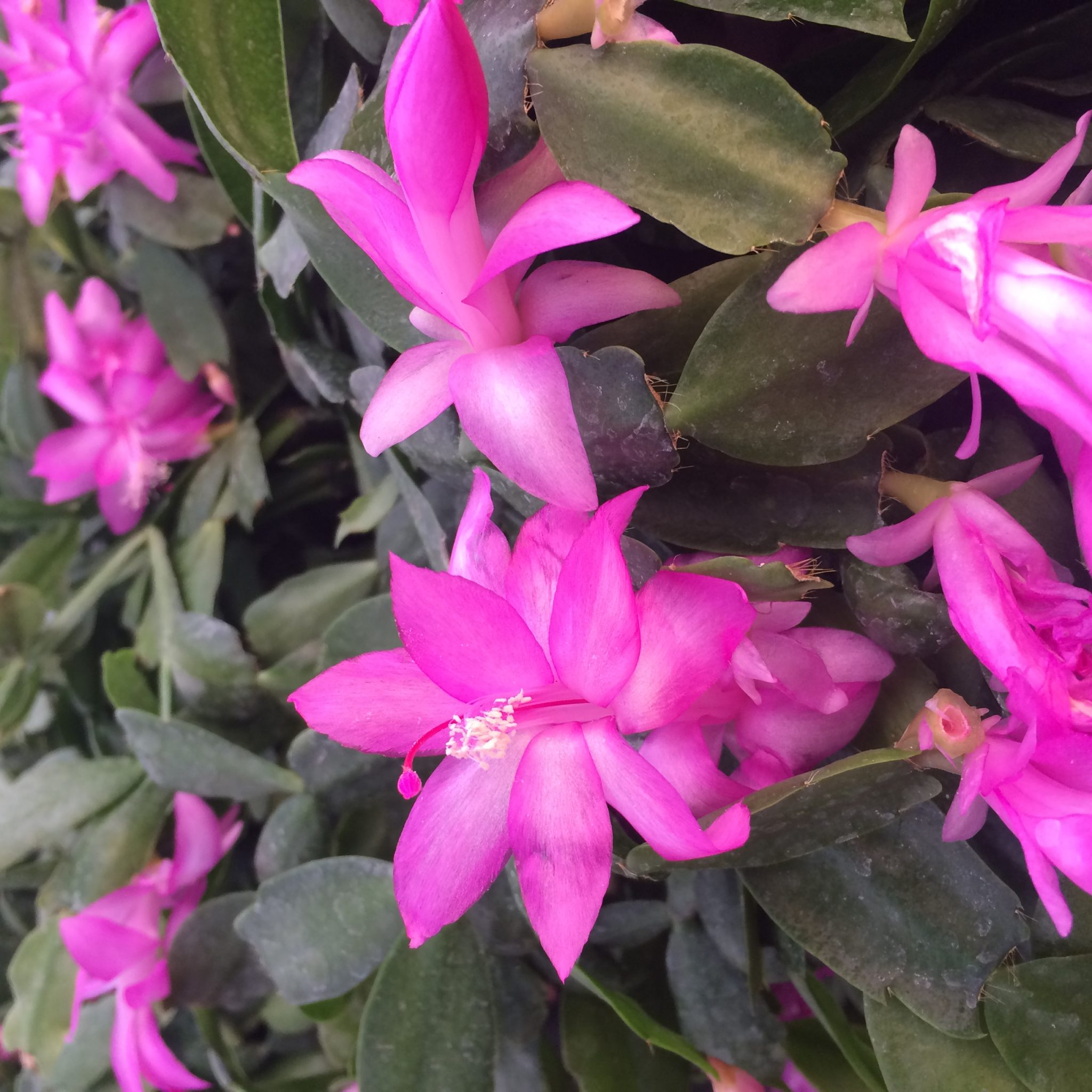 Indoor Plant Of The Month For September Schlumbergera Life Is A