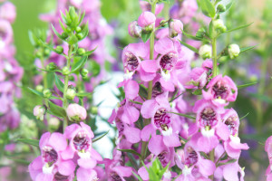 Pink and Purple Angelonia flower background