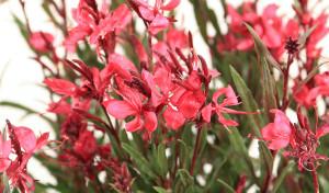 gaura-belleza-red