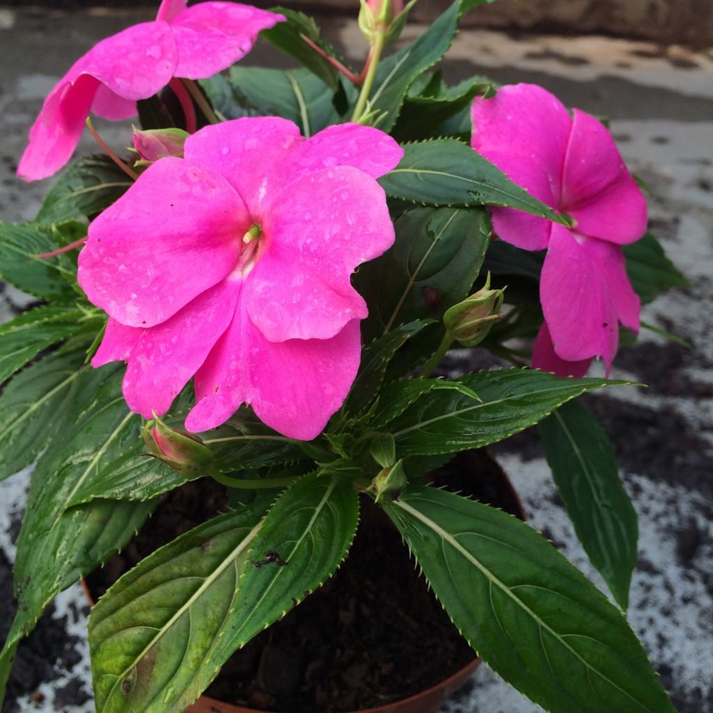 Picture of Live New Guinea Impatiens Magenta aka Impatiens hawkeri 'Harmony Magenta' Plant Fit 1QRT Pot