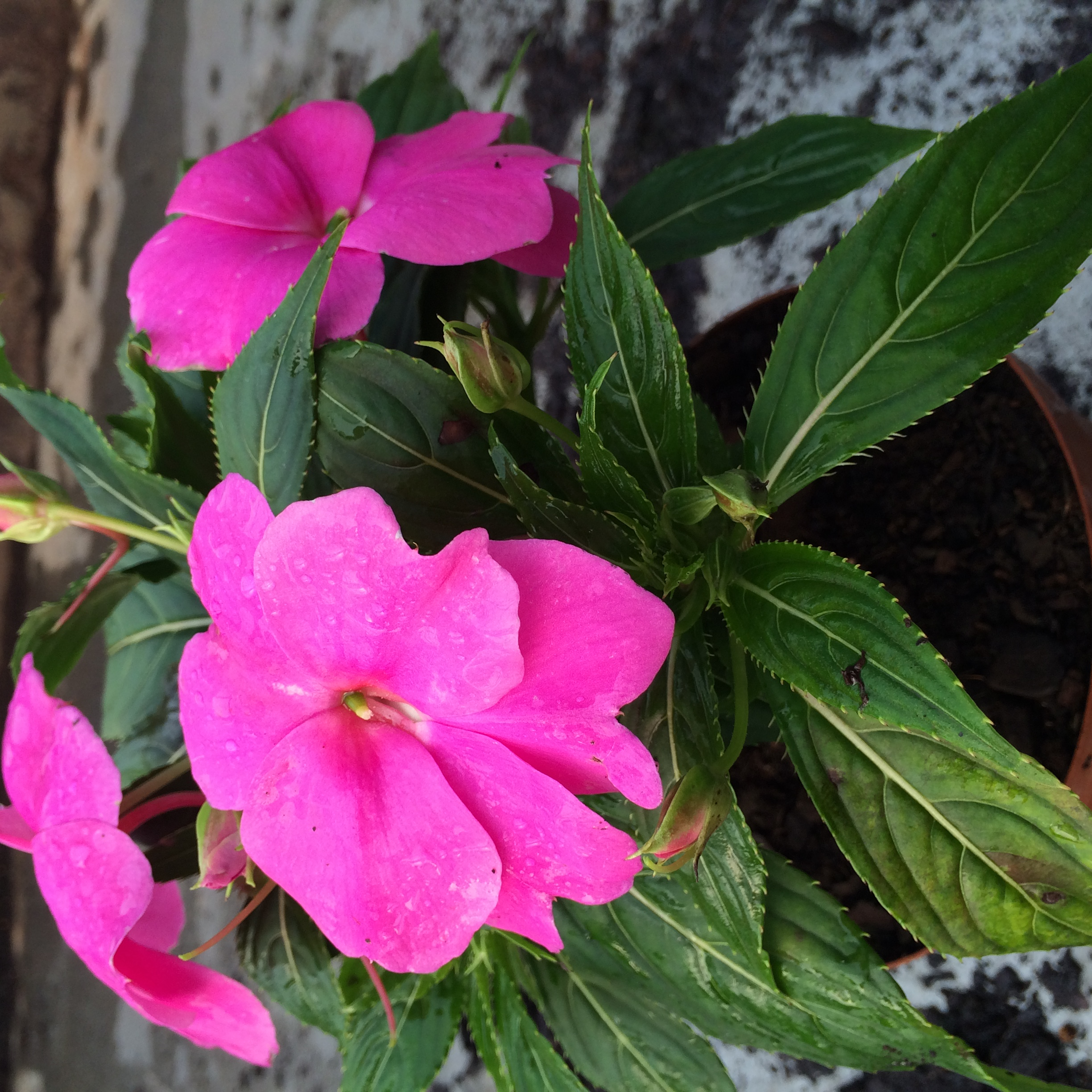 Indoor Plant Of The Month For October New Guinea Impatiens Life