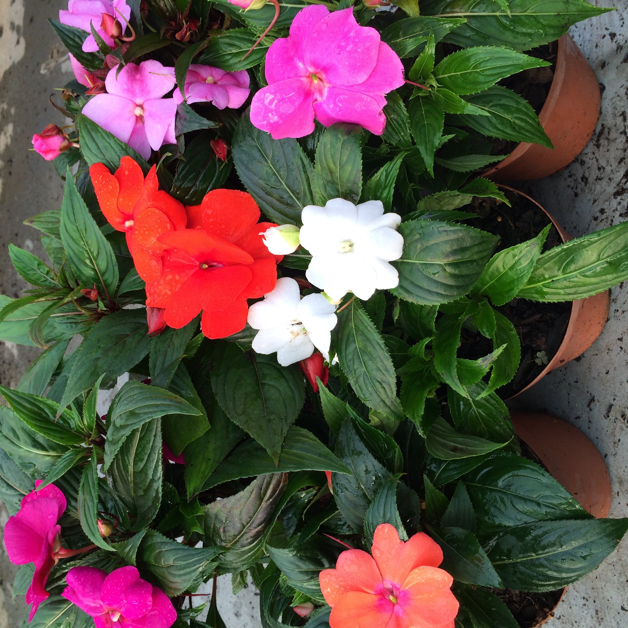 Indoor plant of the month for october new guinea New guinea impatiens