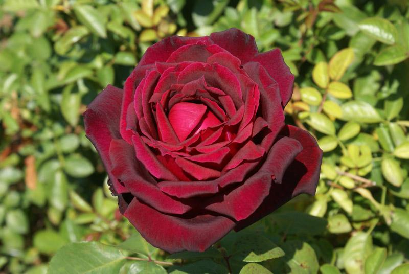 Rosa Oklahoma Life Is A Garden