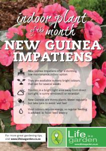 New Guinea Impatiens