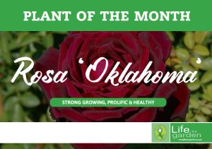 Rosa Oklahoma