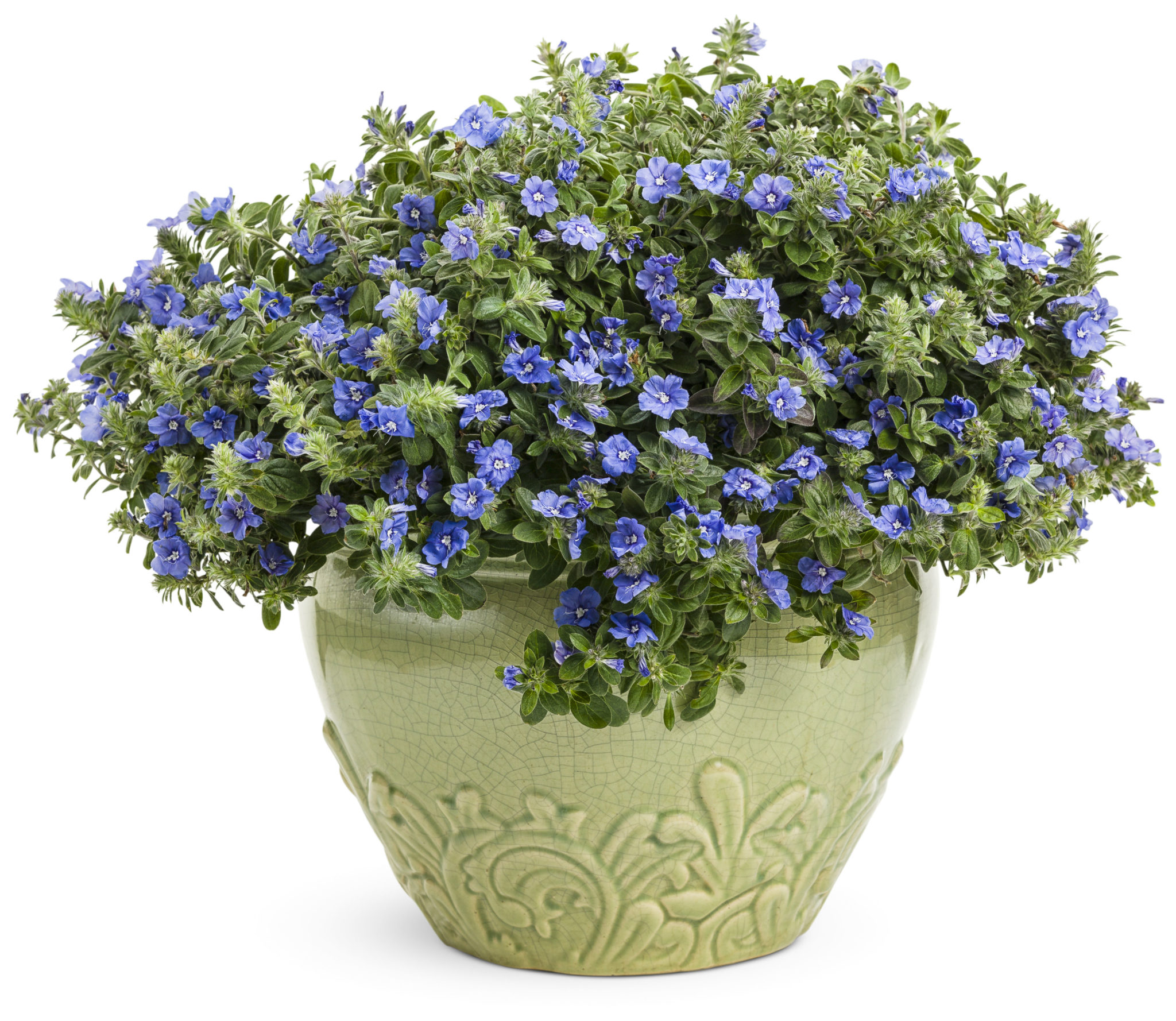 Heavenly glory evolvulus blue my mind life is a garden this plant will truly blow your mind with its true blue flowers and consistent flowering it is perfect to use as a ground cover in the garden or in izmirmasajfo
