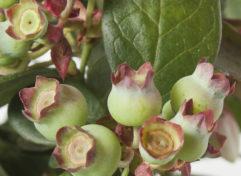 blue-berry-plant