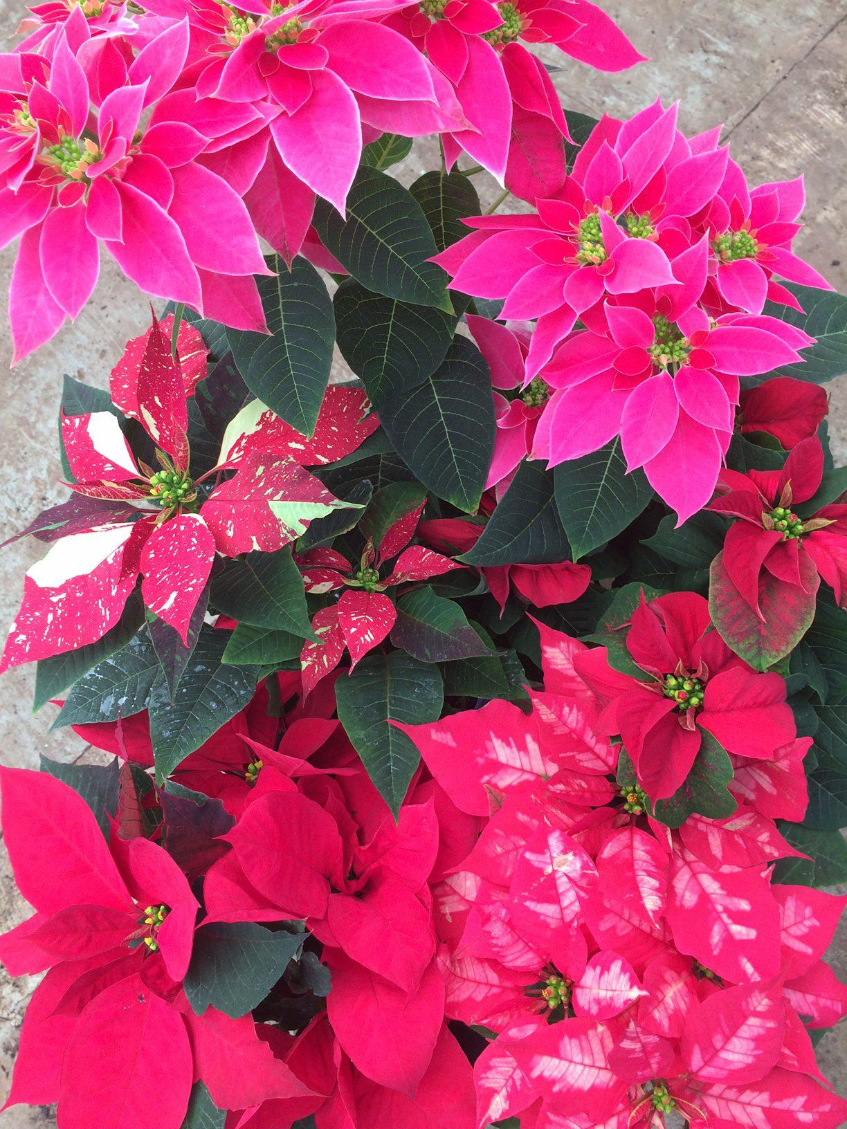 Poinsettia (Euphorbia pulcherrima) - Life is a Garden