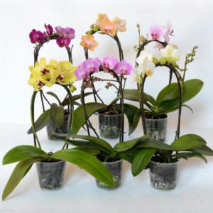 phalaenopsis-fountain-9-cm-high