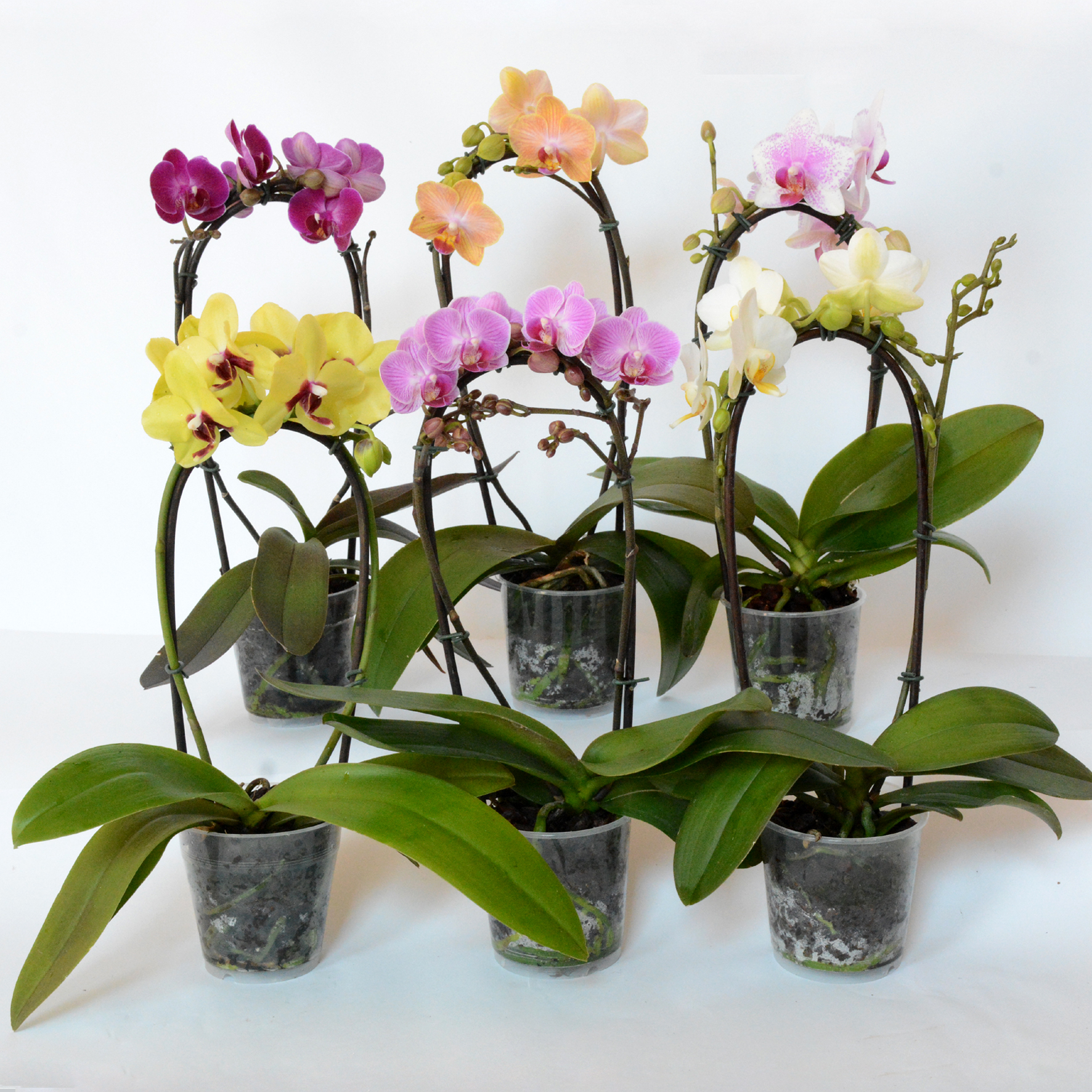 Phalaenopsis Orchid Life Is A Garden