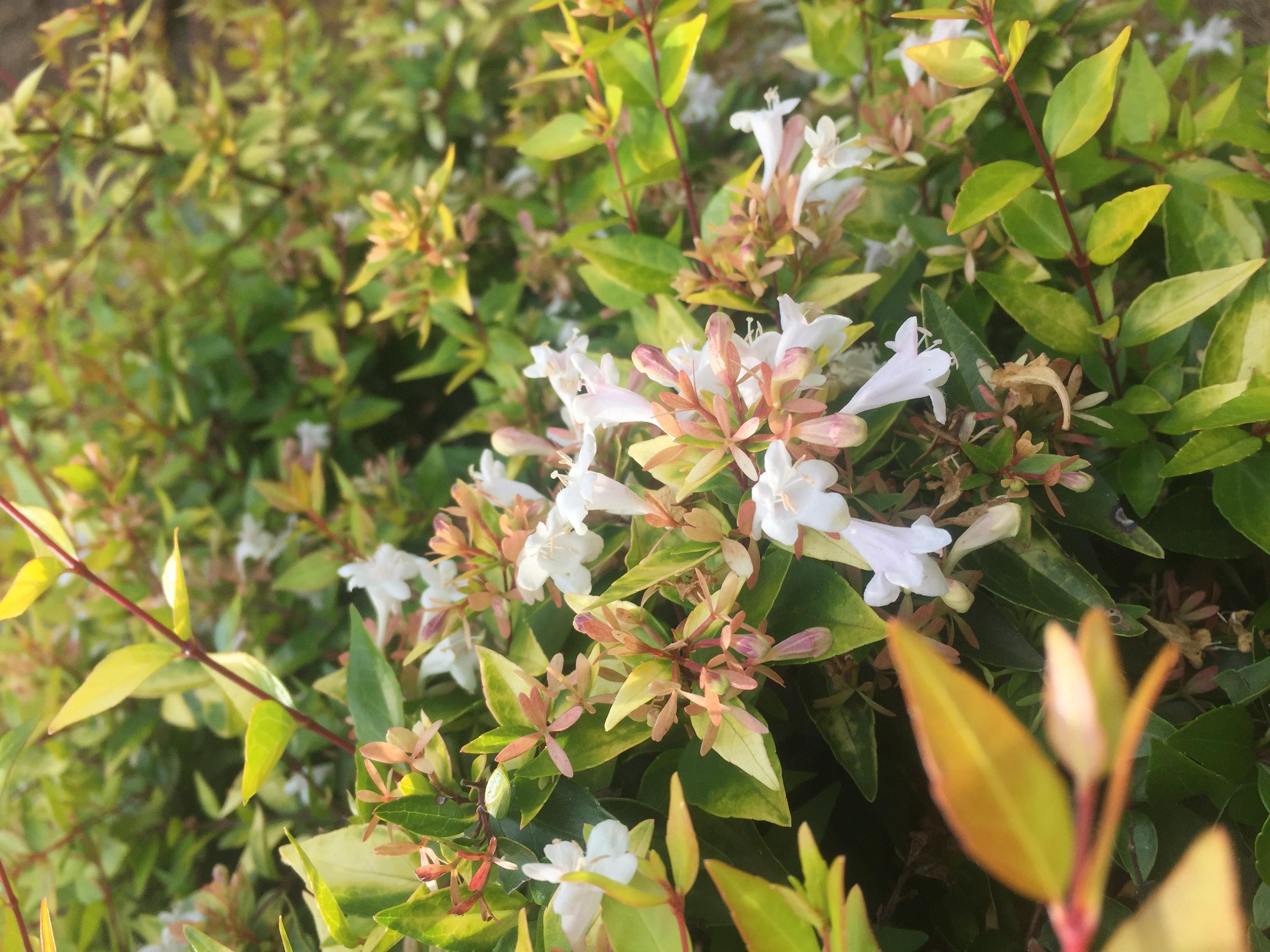 Francis Mason Abelia Grandiflora Life Is A Garden