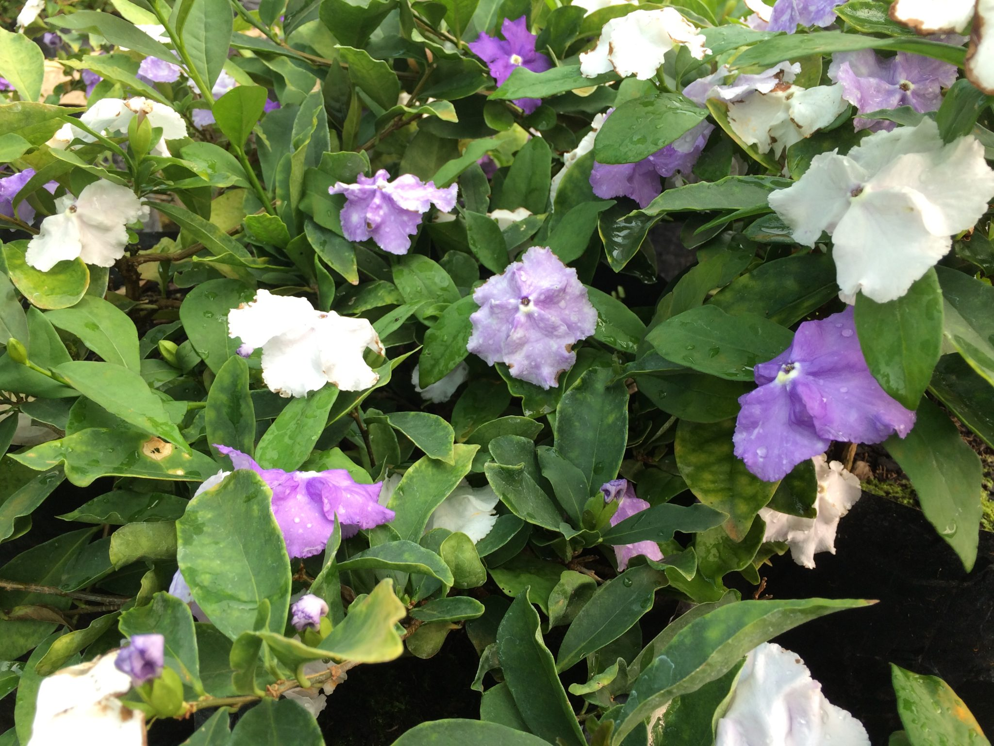 Brunfelsia Pauciflora Yesterday Today And Tomorrow Life Is A Garden