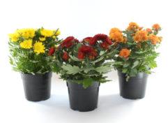 Chrysanths 14 cm (high)