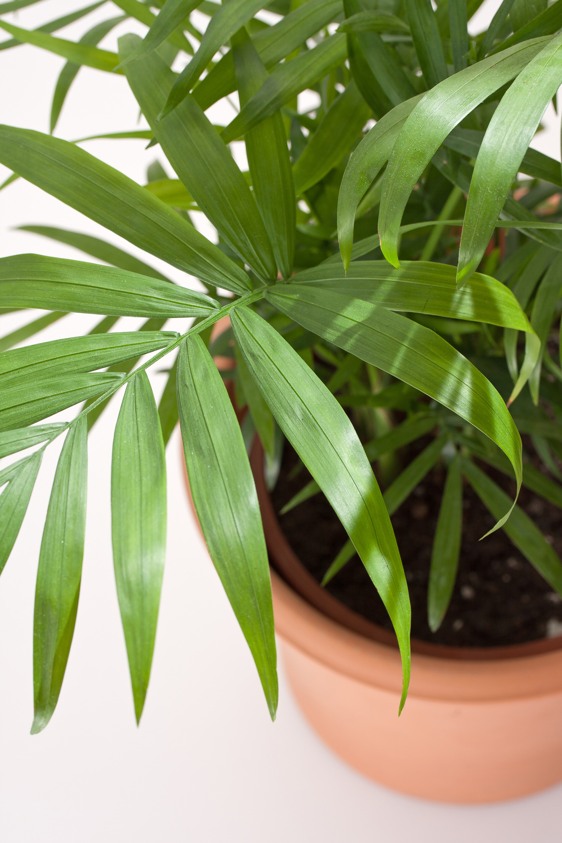 Indoor Plant of the Month for February: Mini 'Love palm