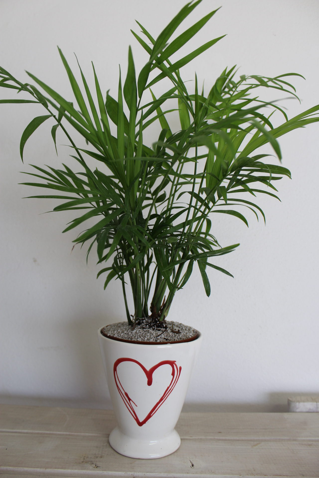 Indoor Plant Of The Month For February Mini Love Palm Life Is A Potted Decorative Plants Garden