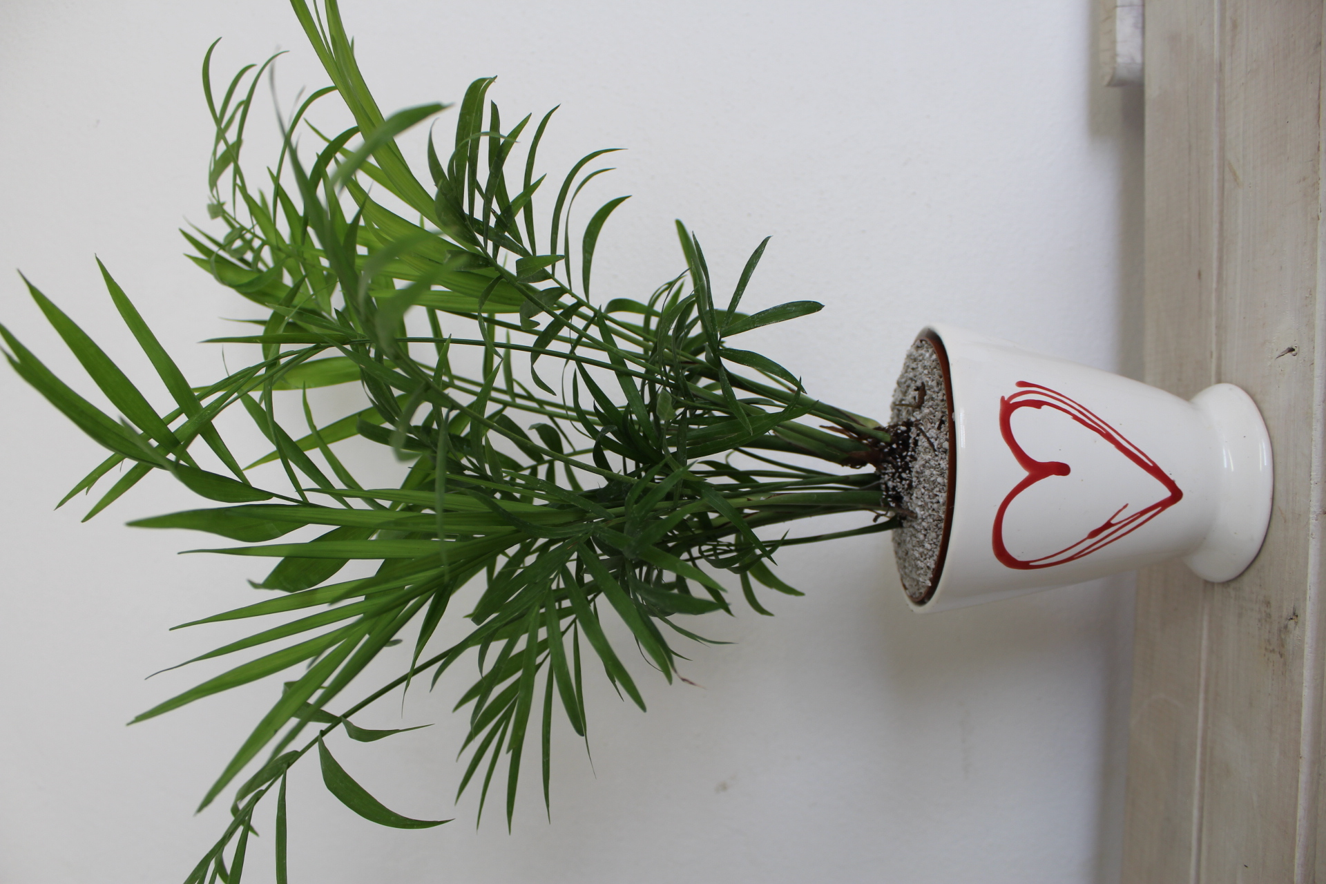 Indoor Plant of the Month for February Mini 'Love palm'   Life is ...