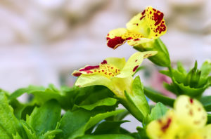 59037157 - flower mimulus in spring