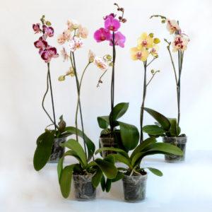 Phalaenopsis (1 stem) 12 cm (high)