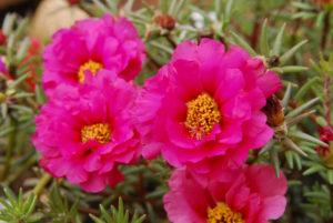 portulaca-grandiflora-31-small