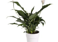 Spathiphyllum 14 cm in Glitter Dipped (White)