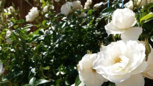 white-roses in the sun