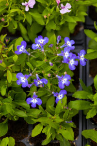 56566919 - many blue flowers as a background lobelia.