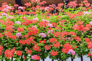 35834816 - hanging flowers of red and pink geraniums with green leaves