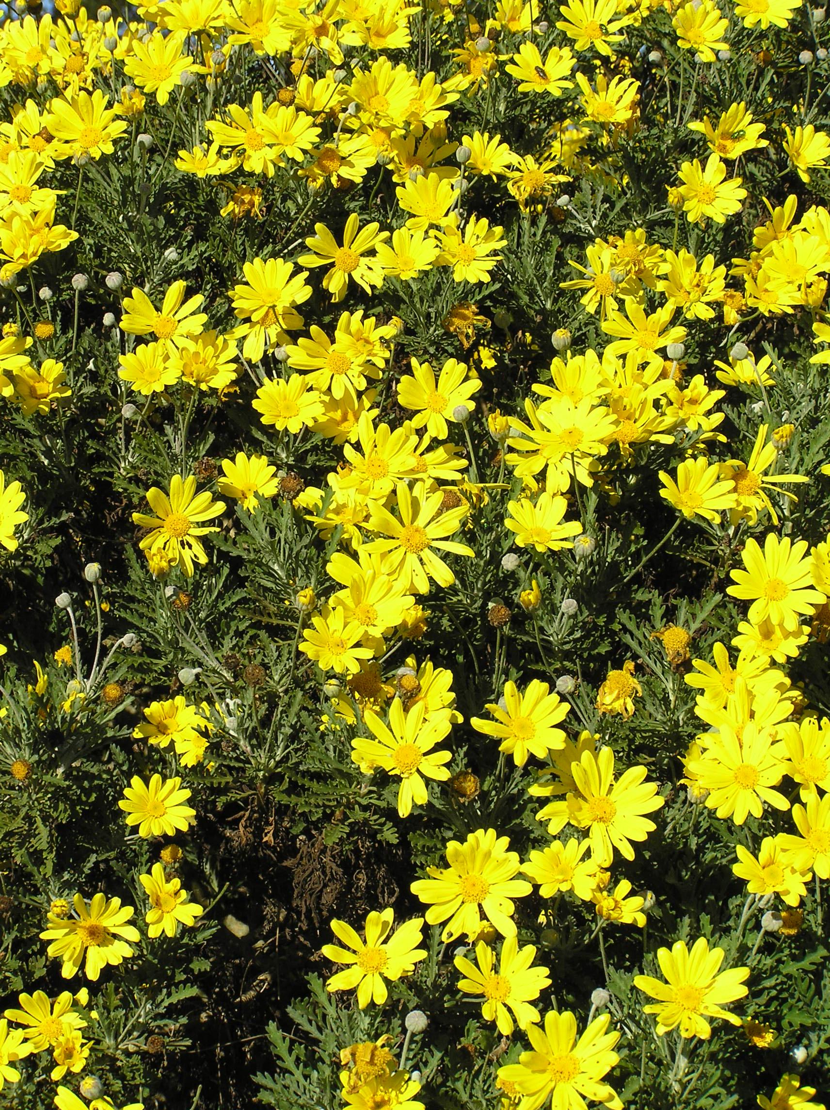Golden daisy euryops pectinatus life is a garden golden daisy euryops pectinatus izmirmasajfo