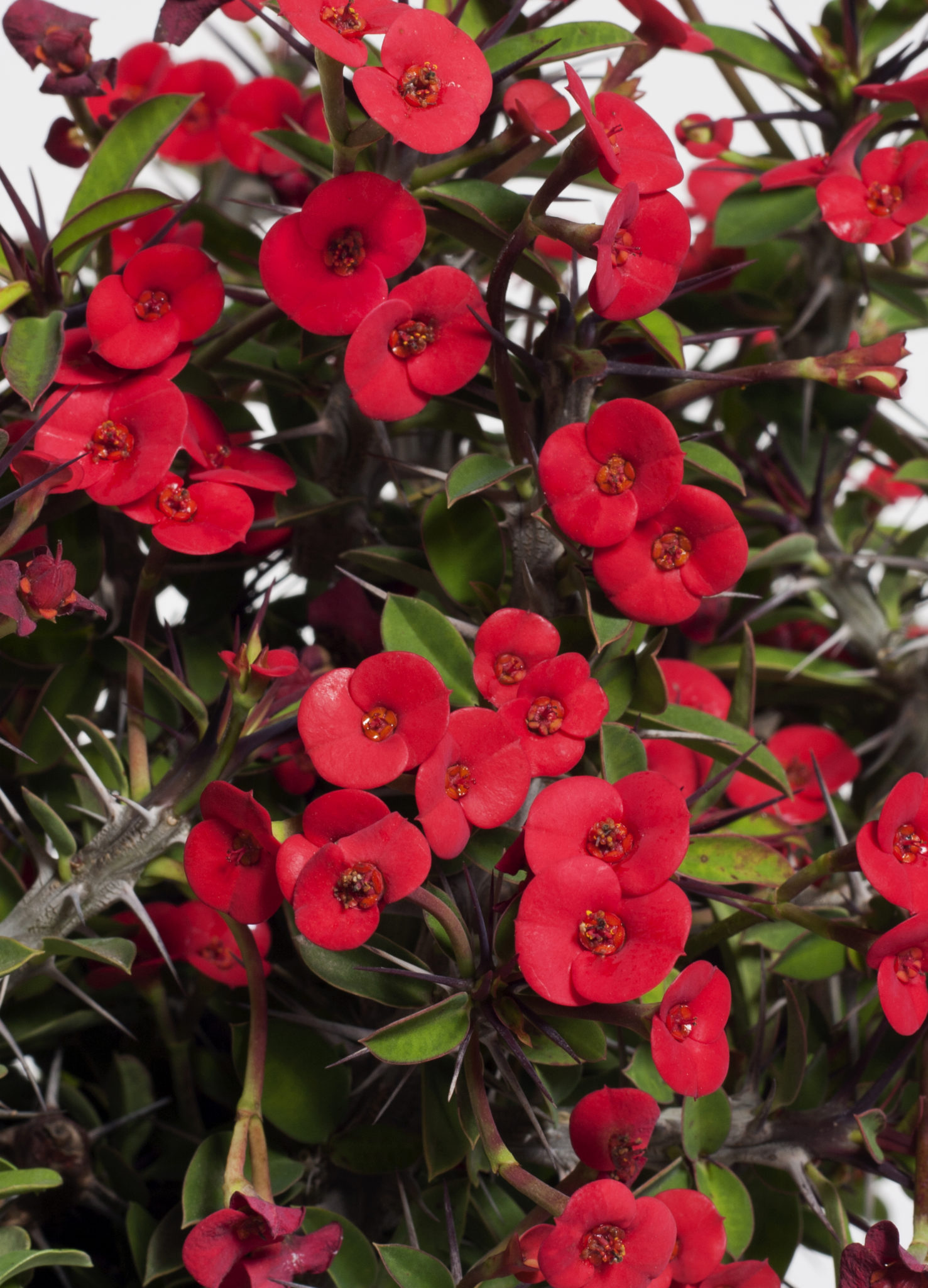 Crown of thorns euphorbia milii life is a garden bright red bracts surround tiny flowers which are produced throughout the year meaning that you will always have a splash of colour in izmirmasajfo