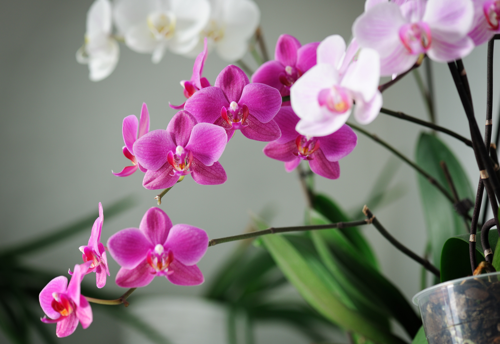 Ideal For Indoors May Moth Orchid Life Is A Garden
