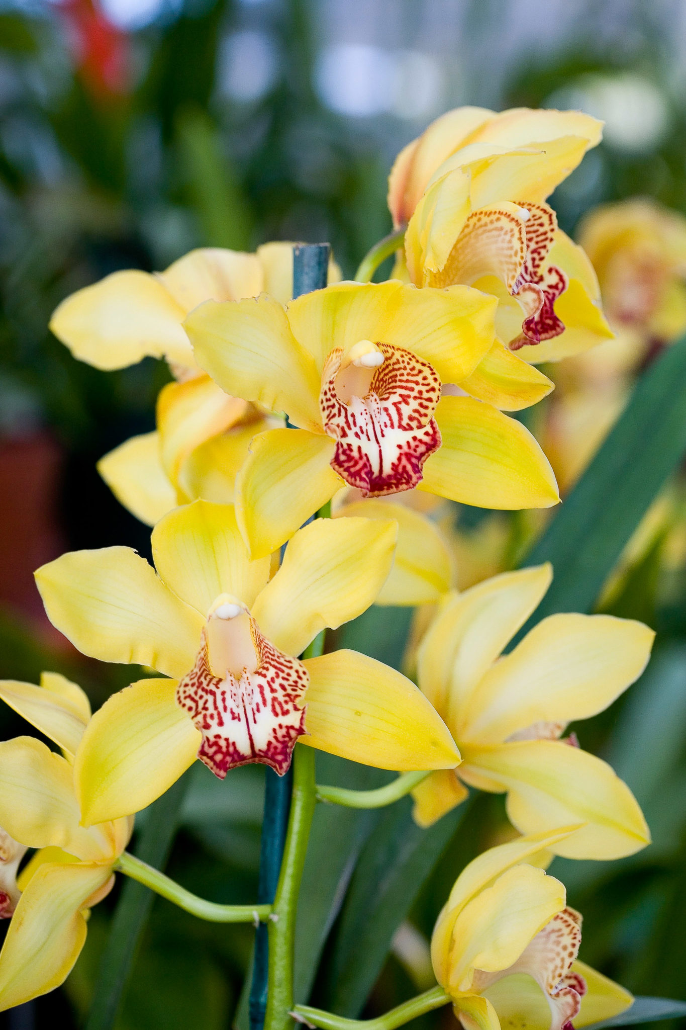 Ideal For Indoors June Stunning Cymbidiums Life Is A Garden
