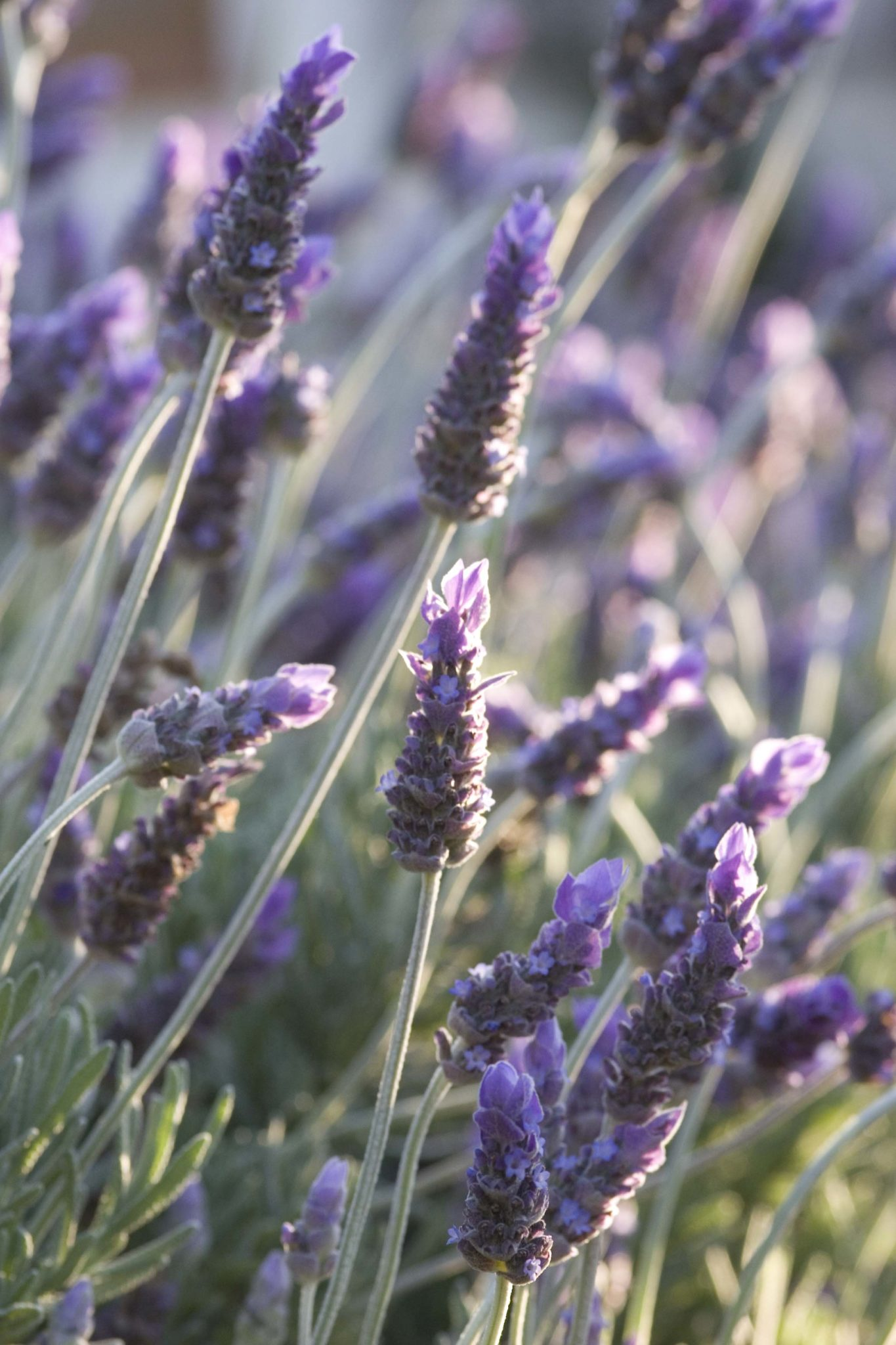 Healthy Herb: July - Lovely Lavender - Life is a Garden