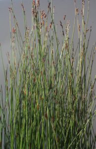 Cape Thatching Reed