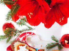 ravishing house plants care. Festive Ideal for Indoors  Ravishing Amaryllis Bulbs Indoor Plants Archives Life is a Garden