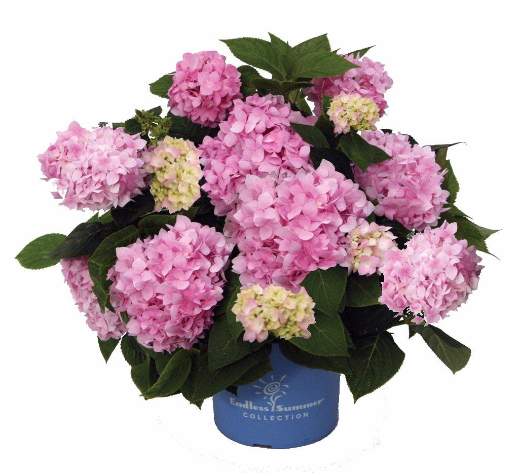 Picture of Live Hydrangea Pink  aka Hydrangea paniculata Plant Fit 1QRT Pot