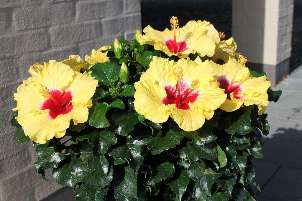 Hibiscus rosa-sinensis grandiflora 'Boreas Yellow' - Life is a Garden