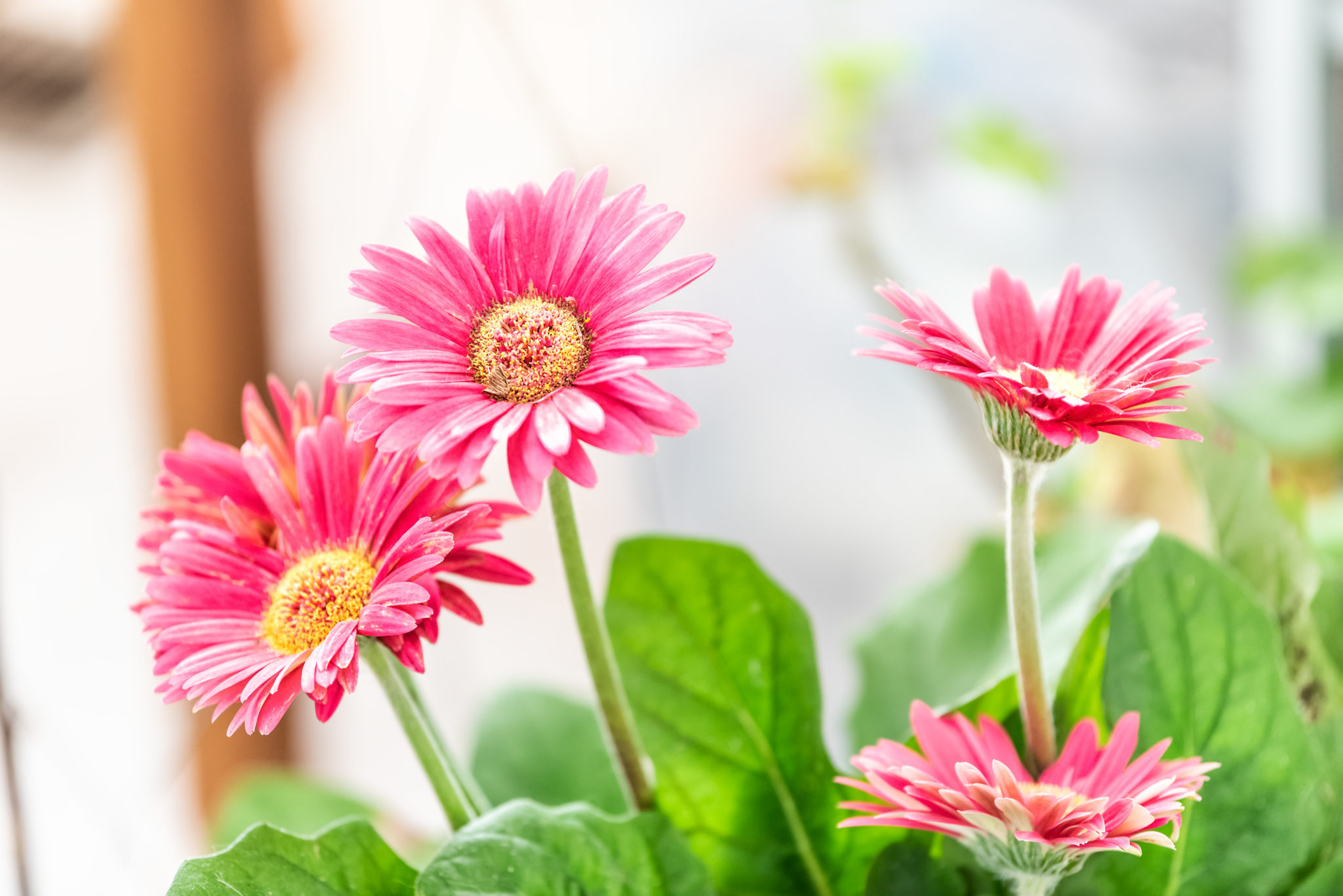 Blog page 4 of 81 life is a garden how to grow barberton daisies successfully izmirmasajfo