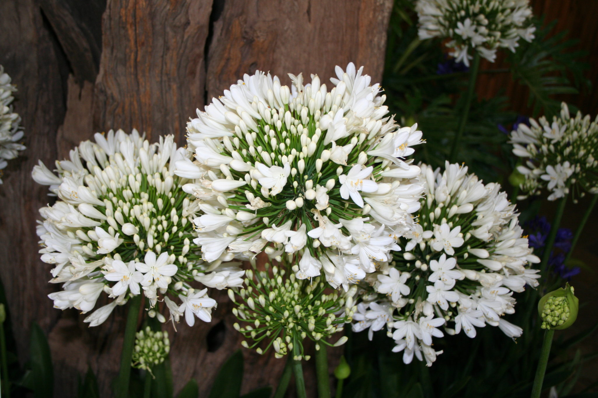 Blog page 2 of 81 life is a garden the gentle giant with super large white flower heads that re bloom in summer very compact attractive foliage mature plant size may vary due to growing izmirmasajfo