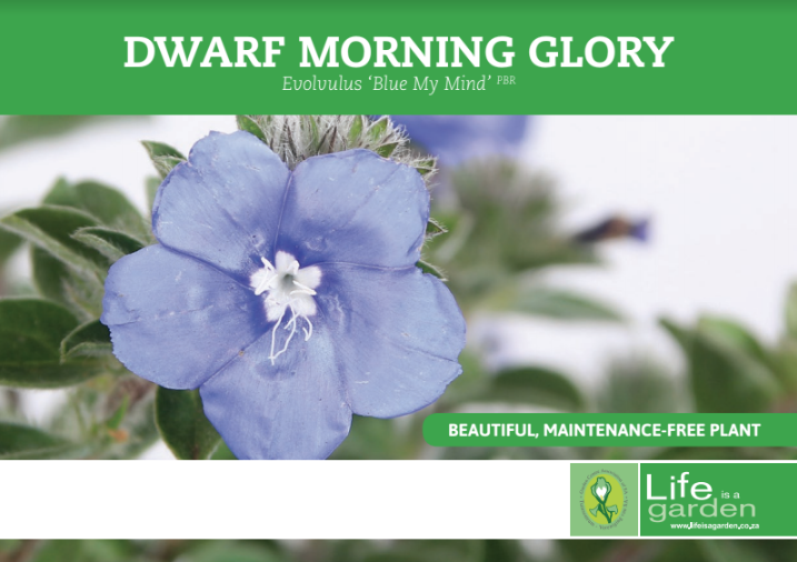This Poster Click On Below Opens In New Window A5 Pos Dwarf Morning Glory Evolvulus Blue My Mind