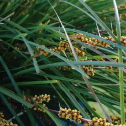 Lomandra longifolia Tanika var. Lm300 (N)