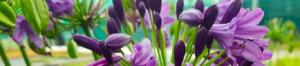 Poppin Purple Agapanthus