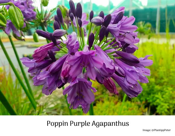 popping purple